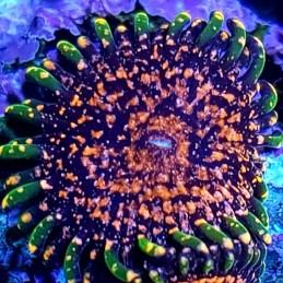 Zoanthus Daglio Vulcano (1 pólipo)