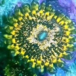 Zoanthus Golden Nugget (1 pólipo)