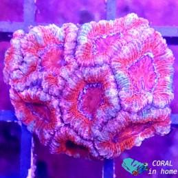Acanthastrea (10 pólipos)