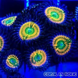 Zoanthus Sunny Delight (5 pólipos)