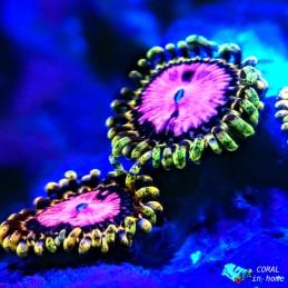 Zoanthus Pink Diamond (1 pólipo)
