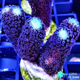 Blue Hornet (Colonia 3 pólipos)