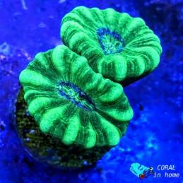 Caulastrea Hulk (2 pólipos)