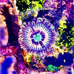 Zoanthus Ice Phantom (1 pólipo)