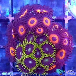 Zoanthus Galleta Bally Mix
