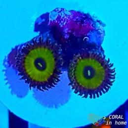 Zoanthus Tutti Frutti (5 pólipos)