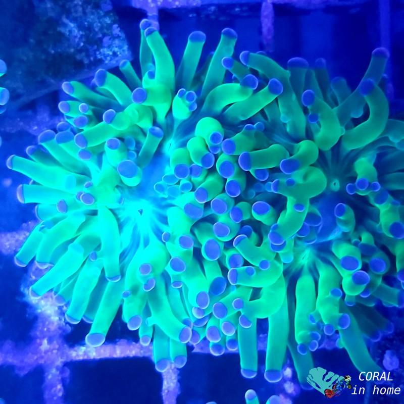 Euphyllia Paradivisa Green Fluor and Purple (2 pólipos)