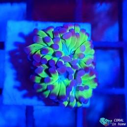 Zoanthus Gatorade (3 pólipos)