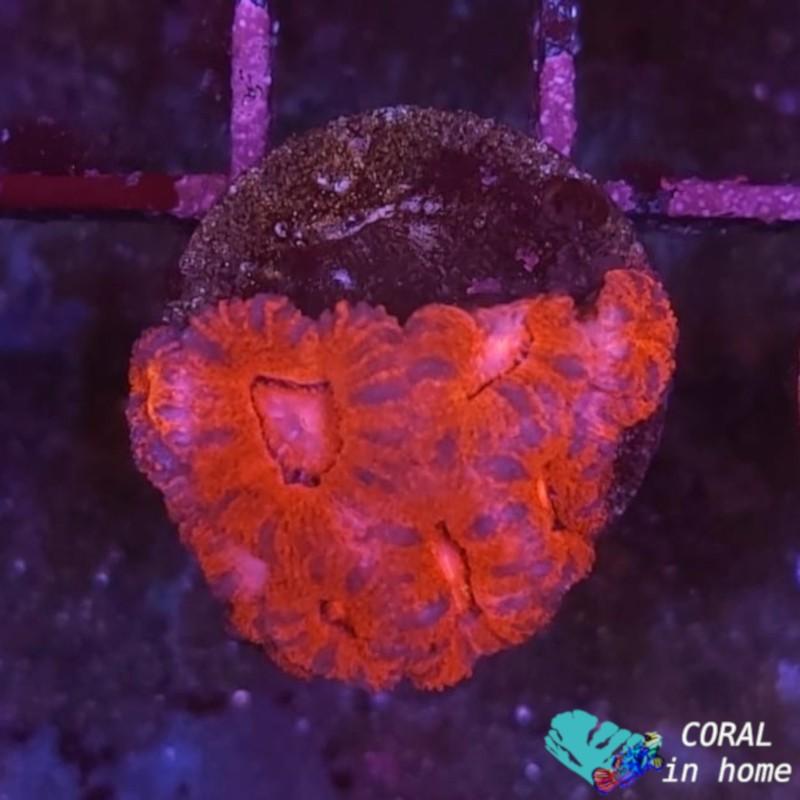 Acanthastrea (6 pólipos)