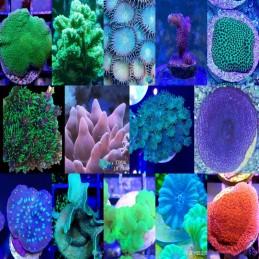 Pack de Corales