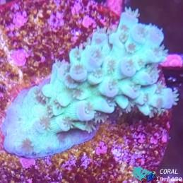 Acropora Blue Tenuis