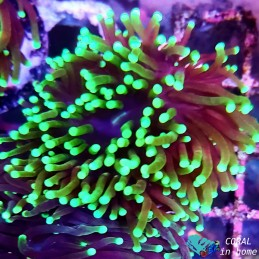 Euphyllia Glabrescens Torch Green Tips (1 pólipo)