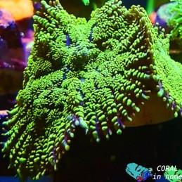 Rhodactis Green