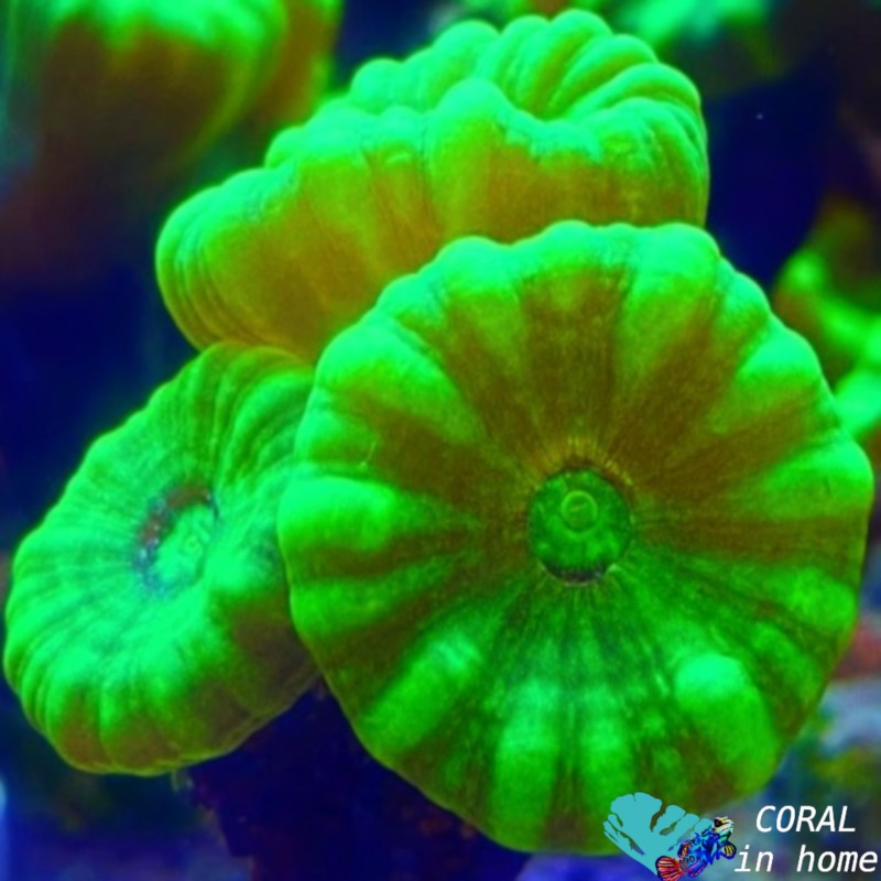 Caulastrea Hulk (4 pólipos)