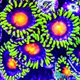 Zoanthus Blow Pops (6 pólipos)