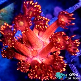 Goniopora Metalic Red && Yellow Mouth (Frag)