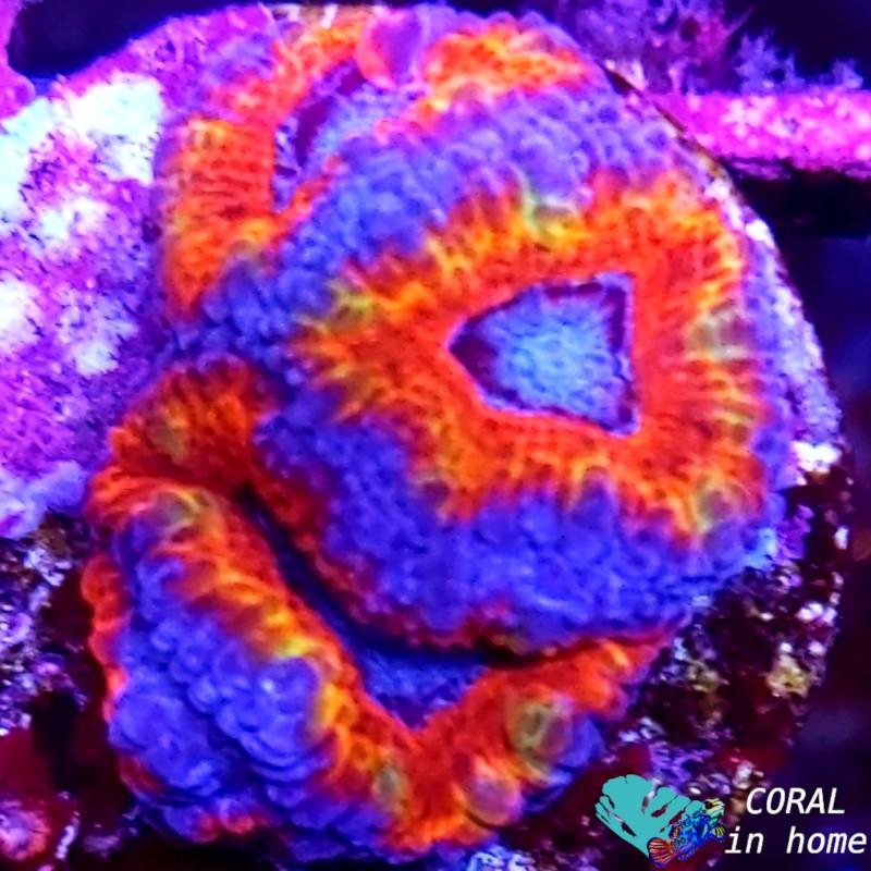 Acanthastrea Ultra Rainbow (6 pólipos)