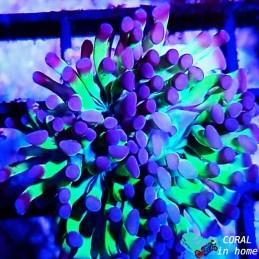Acropora Millepora Green