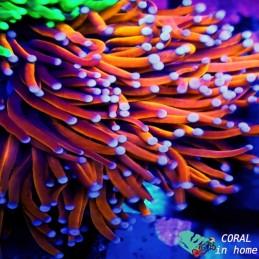 Neon Green (colonia 5 pólipos)