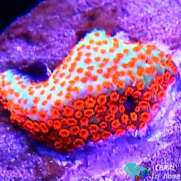 Acropora Red Planet