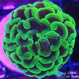 Parancora Toxic Green (M)