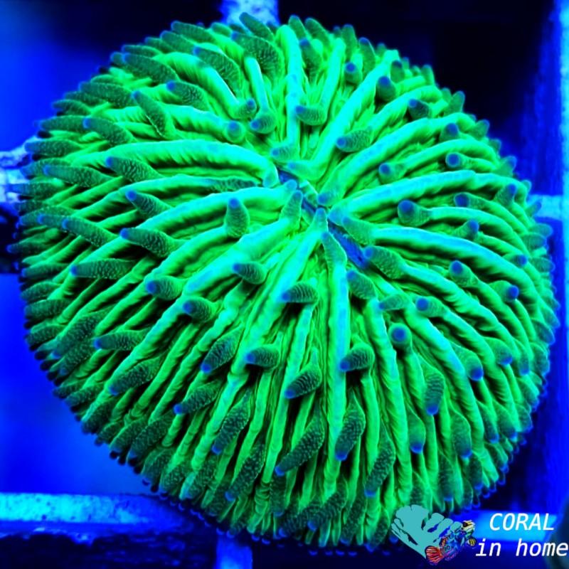 Fungia (S)