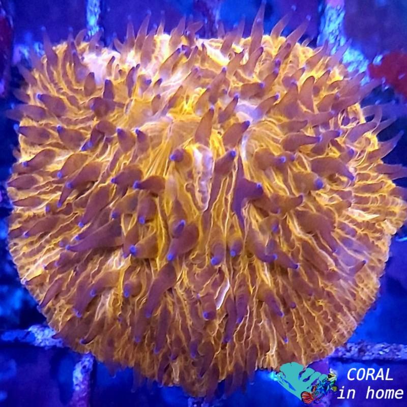 Fungia Orange Ultra (M)