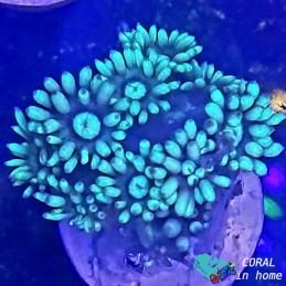Goniopora Fluor Green