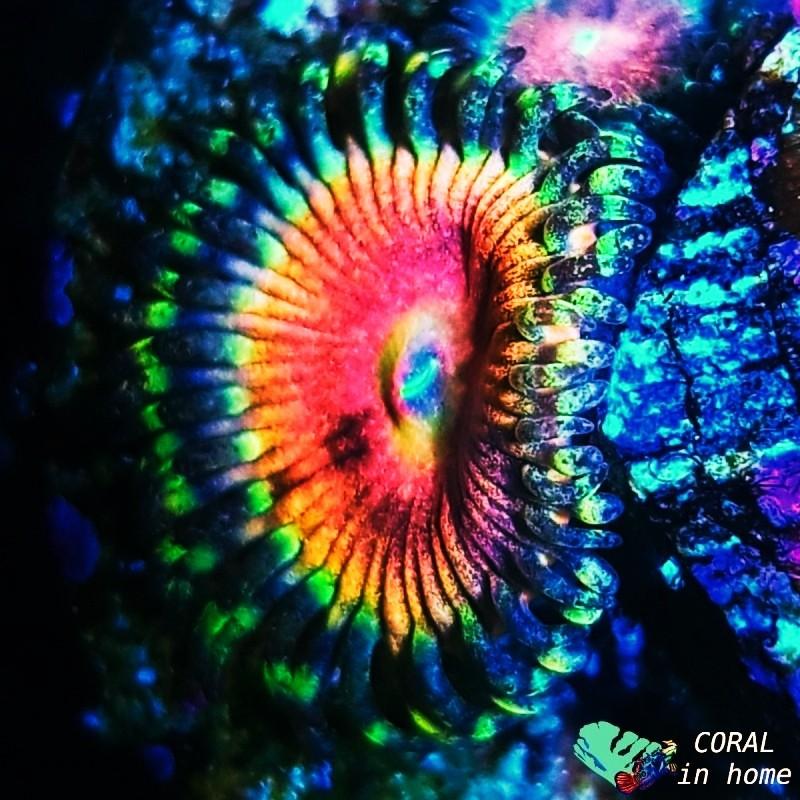 Zoanthus Angry Eyes (1 pólipo)