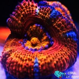 Acanthastrea Ultra Rainbow (3 pólipos)